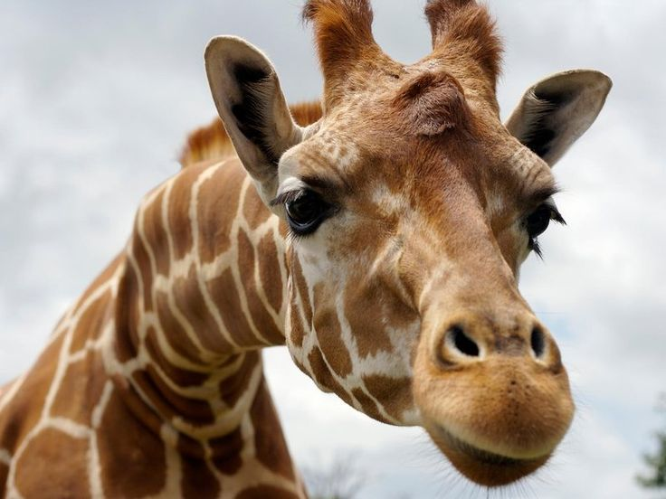 A new study reveals we still don't know everything about giraffes—and what we don't know could entirely change how conservationists protect them.  Currently, giraffes are all know as species Giraffa camelopardalis, and up to 11 sub-species are recognized, including the Nubian giraffe (Giraffa camelopardalis camelopardalis). But skin biopsies on 190 giraffes from all around Africa revealed that they are about as genetically distinct as a polar bear is from a black bear,