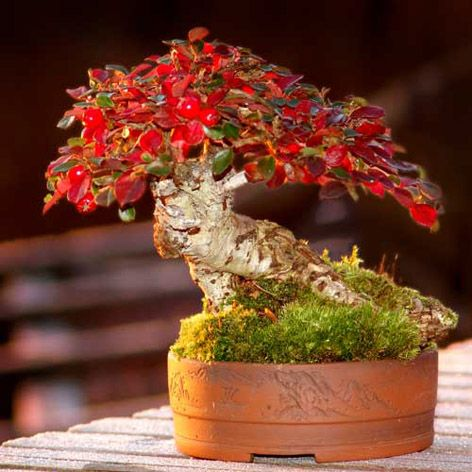 Unique Bonsai Tree