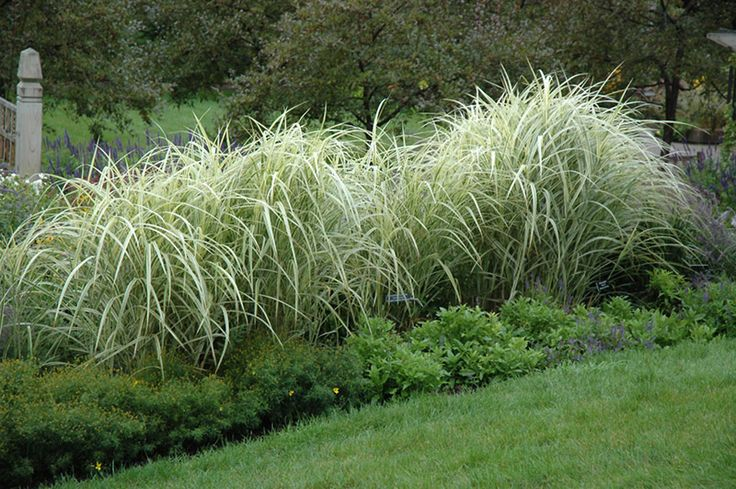 Variegated silver grass is an herbaceous ornamental grass for Variegated ornamental grass