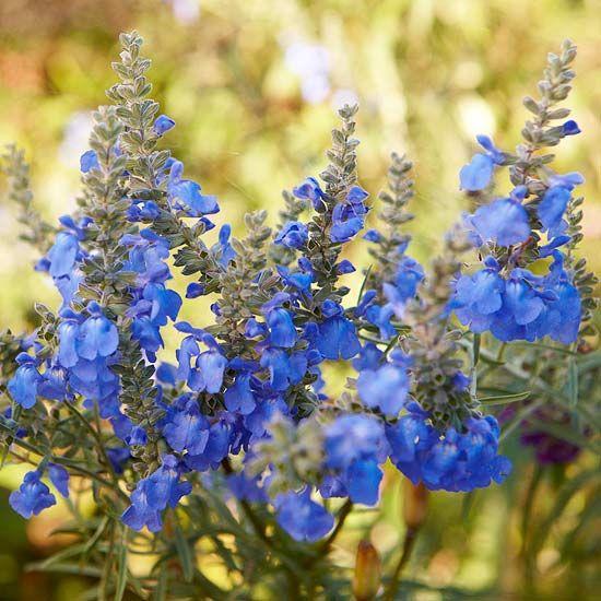 Salvia: Blue Salvia, Flowers Gardens Plants, Blue Garden, Beautiful Blue, Blue Flowers, Outdoor, Garden Flowers