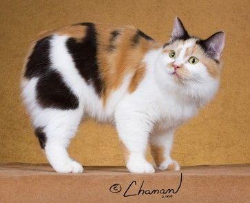 Top Cat Directory: Funny Manx Cat