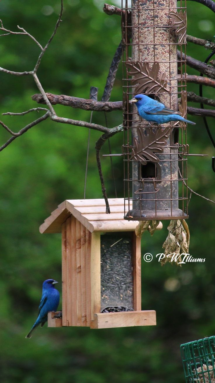 I thought that the Indigo Buntings had all moved on but I ...