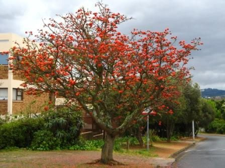 Erythrina lysistemon - Common Coral Tree, South Africa