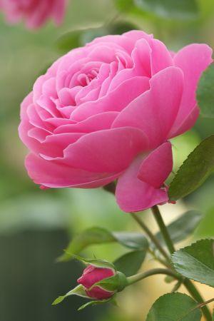 Rose, 'Leonard da Vinci'