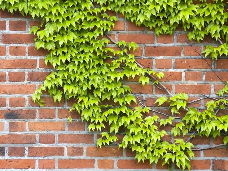Klimop, wintergroene klimplant