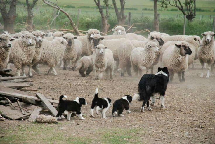 #herdingdogs