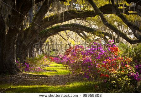 Charleston SC Plantation Live Oak Trees Spanish Moss Azalea Flowers Blooming Spring Blooms - stock photo