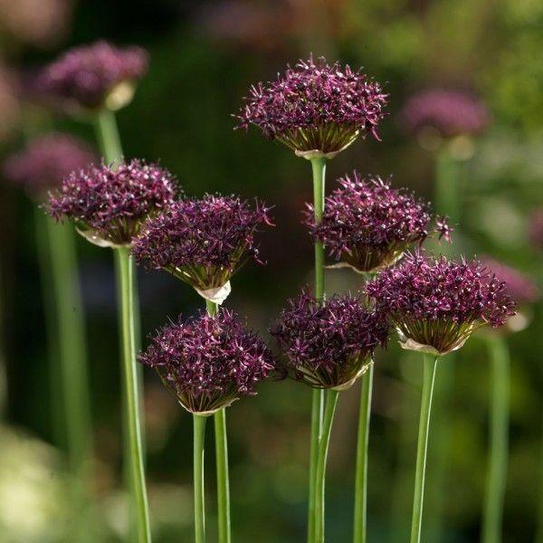 Bloembollen Allium Atropurpureum