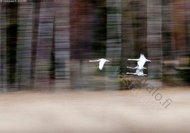 Lennossa - linnut joutsenet laulujoutsenet lento lentää muuttolinnut lintujen muutto laulujoutsen joutsen parvi joutsenparvi luonto kevät kevätmuutto