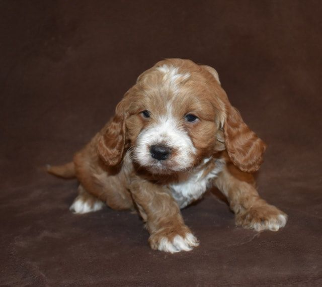 """""""Cockapoo of Excellence just have such happy & healthy cockapoo puppies for sale, our Cockapoo Puppies and adult parent Cockapoo Breeders are unsurpassed for the perfect family pet."""""""