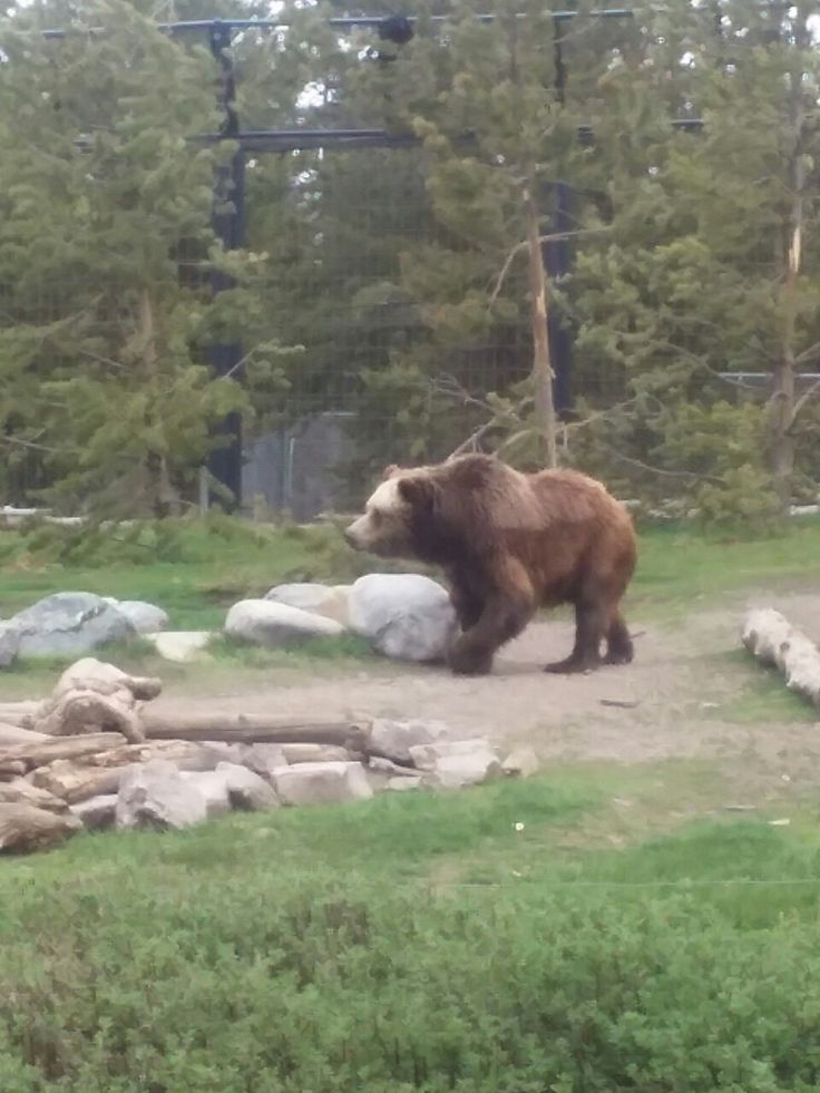 Real live grizzly bere wolf and bear center