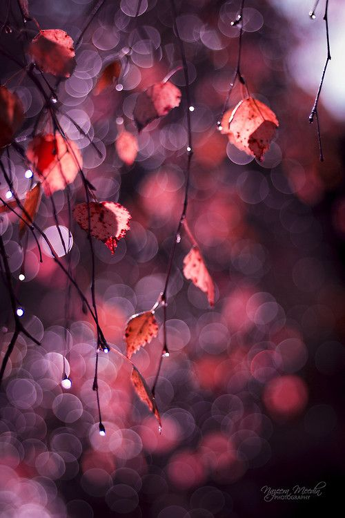 Red autumnal leaves. We love how the light catches the rain drops on these branches.