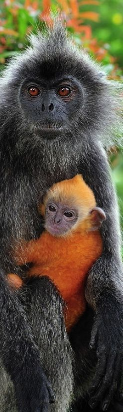 Gray Monkey with Baby Orange Monkey