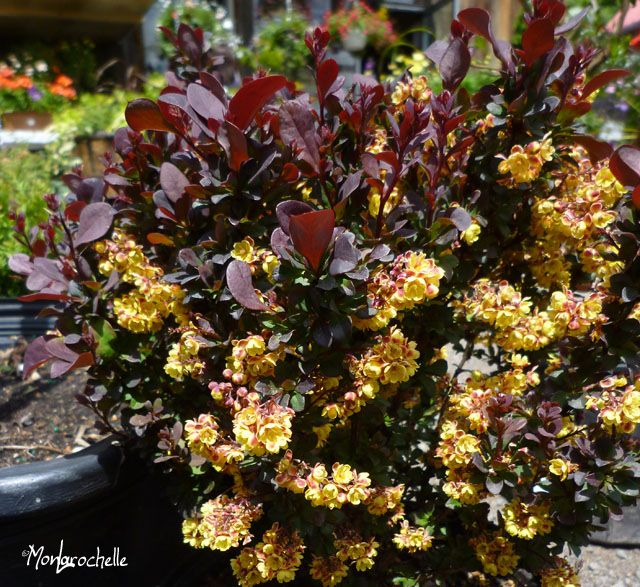 Berberis Concorde Concrode Barberry Fast Growing Hedge