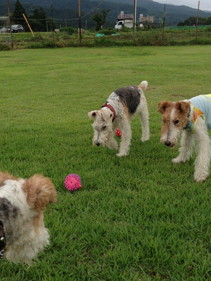 654 besten Wire Fox Terrier Love!!! Bilder auf Pinterest