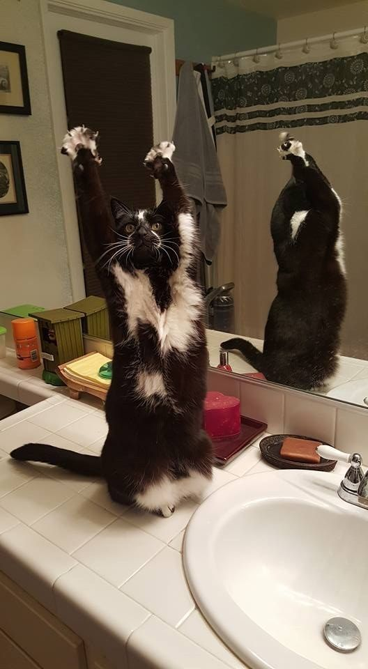 This is Keys. She's been blowing up on imgur for putting her hands in the a-ir and waving them like she just don't ca-re. | The Internet Is Freaking Over This Cat Who Loves Putting Her Paws In The Air