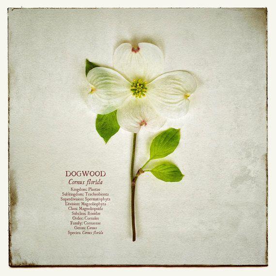 Dogwood Photo Antique White Flower Photograph 8x10 Cornus Florida Botanical Print Binomial Nomenclature Series