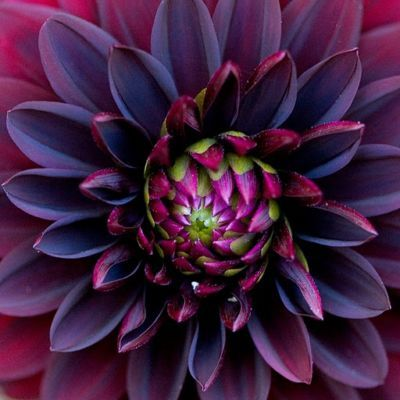 Black  dahlia....I would LOVE a giant print of this for my living room!!   Oh, how I love purple!