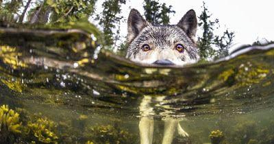Οι σπάνιοι λύκοι που κολυμπούν και τρώνε ψάρια