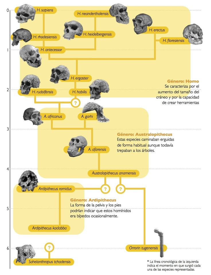 Arbol filogenético de la evolución humana. Prestad atención en orden en el que se encuentran dispuestas #filogenetica, #evolucionhumana, #arbolfilogenetico