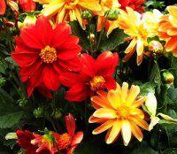 Выбираем красивые однолетние цветы для сада, цветущие все лето