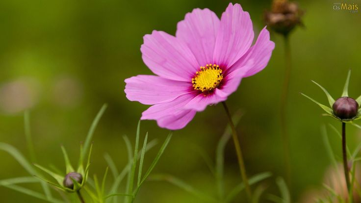 Papel de Parede Flor de Cosmos