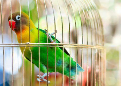 カラフルな羽が魅力的なボタンインコは、アフリカ原産のインコです。 パートナーへの愛情が大きいことから、英語では「ラブバード(love bird)」と呼ばれていますよ。 この記事では、ボタンインコの性格や特徴、寿命、鳴き声をまとめました。ぜひ参考にしてくださいね。  ボタンインコの性格は? 性格 深