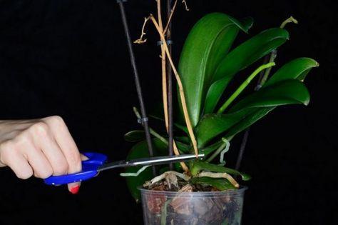 почему не цветет орходея