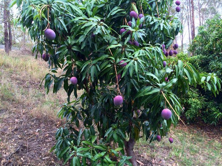 how to keep a mango tree small