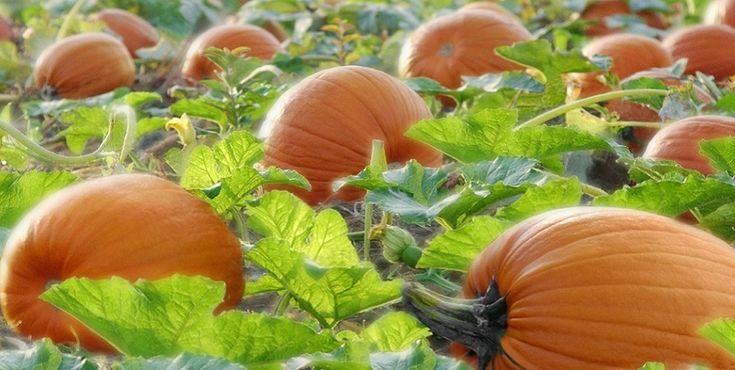 Existem literalmente centenas de variedades de abóboras. Conheça as variedades que são mais cultivadas em Portugal.