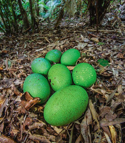 southern cassowary eggs