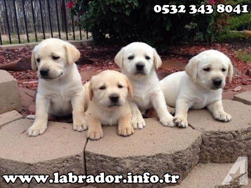Beyaz Labrador Yavruları - LABRADOR DÜNYASI