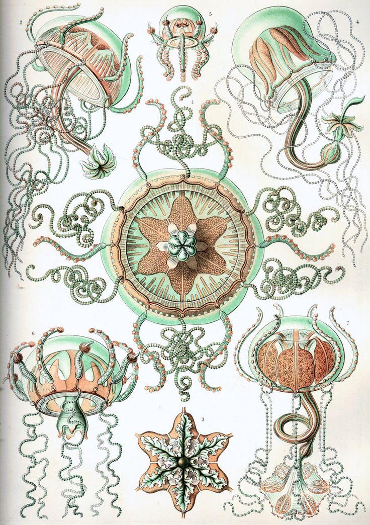Haeckel_Trachomedusae.jpg (1127×1600)