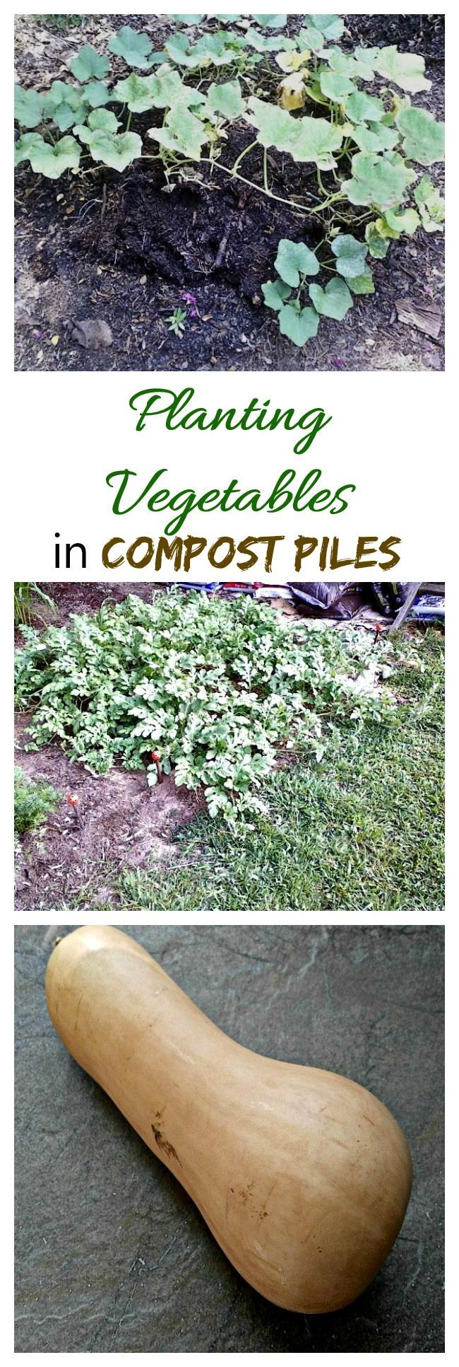 For really large vegetables that don't need fertilizing, try planting in compost piles. I experimented with this last year with great results. #composting #vegetablegardening