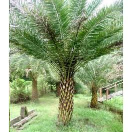 Phoenix Sylvestris (Silver Date Palm, Sugar Date Palm,Toddy Palm)
