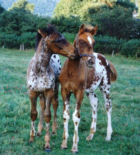 Appaloosa babies . . . . I'm going to buy my granddaughter one, it's her favorite breed!....rella