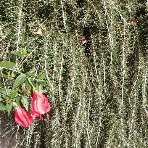 Rosmarinus officinalis prostratus | Σπόροι βοτάνων & αρωματικών στο Pangaiaseeds