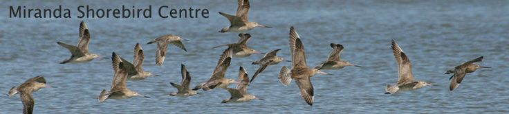 Miranda Shorebird Centre - Keep the birds coming. This is the place to see Wrybill, Godwits and other migratory birds.