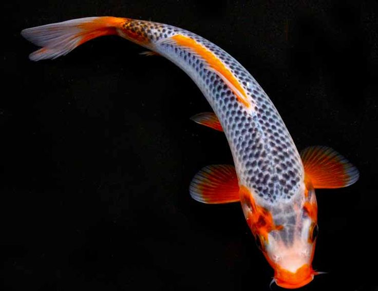 10 best images about koi fish on pinterest real love for Real blue koi fish