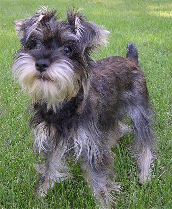 I want a Snorkie!!  Miniature Schnauzer / Yorkie mix...adorable!!
