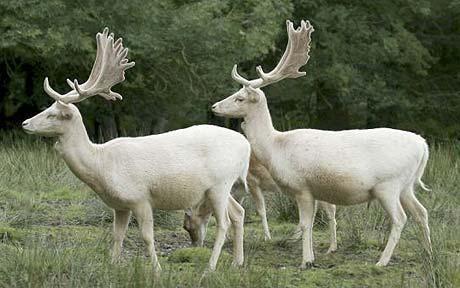 Fallow Deer (White): White Animal, Albino Animals, Fallow Deer, Albino Deer, Google Search, Albino Moose, White Christmas, Gazelle, White Deer