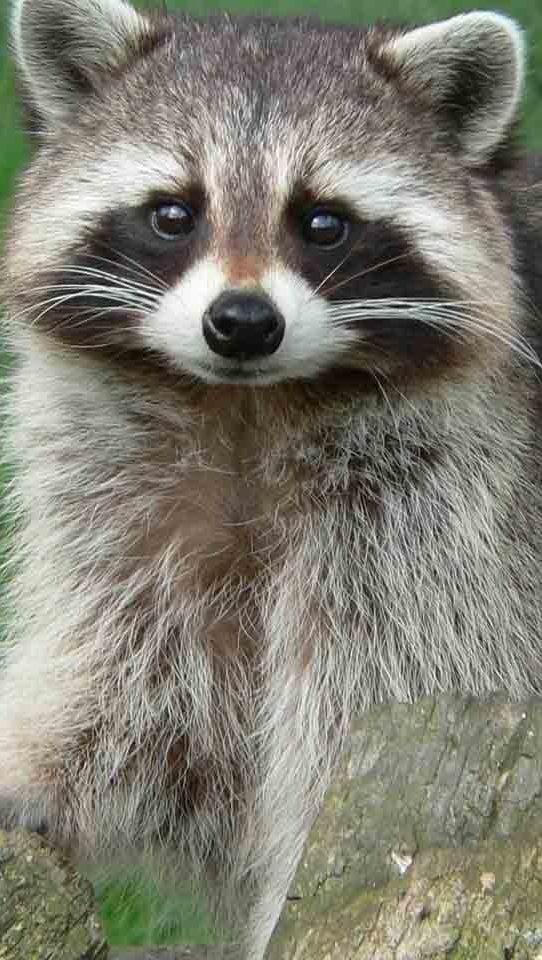 Animal Print Wallpaper Uk Cute Raccoons