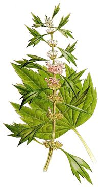 """Motherwort (Leonorus cardiaca (""""Lion Hearted"""") is an excellent heart tonic. It has healing powers for both the emotional and physical heart. Motherwort is an excellent heart tonic particularly for Tachycardia (accelerated inactive heart rate), but is also quite useful for all heart conditions associated with anxiety and tension, including helping to lower high blood pressure."""
