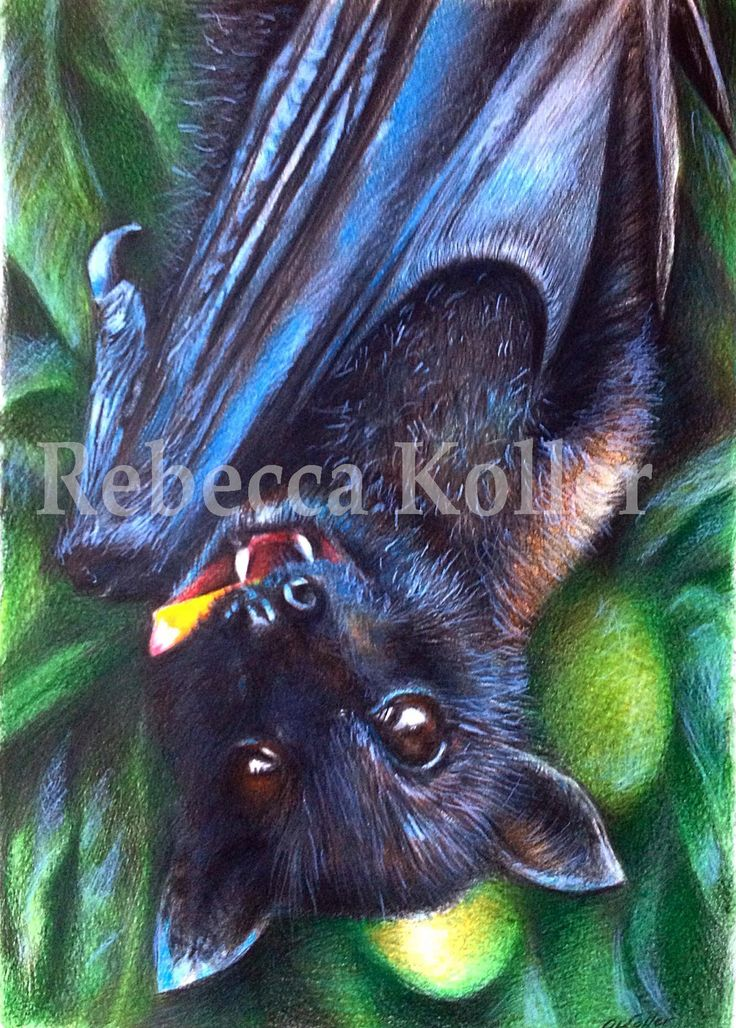 black flying fox, coloured pencil illustration, donated to Batreach, Kuranda to raise funds for their organisation