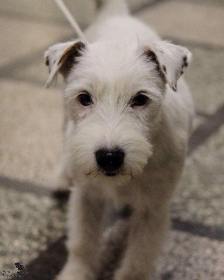 My Parson Russell terrier, Joy