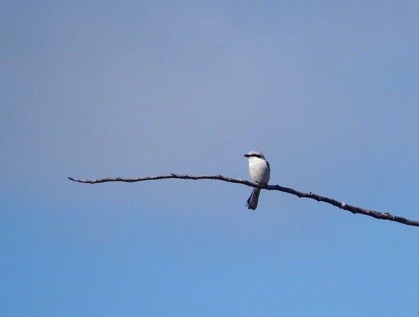 Isolepinkäinen. Valkea lintu ja sininen taivas. / Great grey shrike, lanius excubitor. White bird and blue skies.