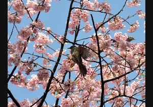 A bird sits on a branch of a blooming cherry tree at a park in Tokyo on March 17, 2013. Japans weather agency announced the official beginning of cherry blossom season in Tokyo on March 16, equalling the record for the earliest ever start.