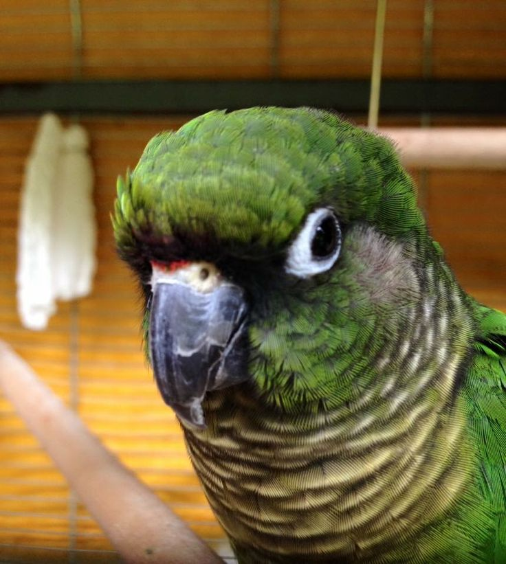 My parrot Josh