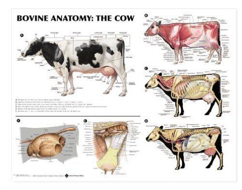 Bovine Anatomy Chart Cow by Anatomical Chart Company, http://www.amazon.com/dp/B0009VIZTI/ref=cm_sw_r_pi_dp_oafyrb1JY84GN