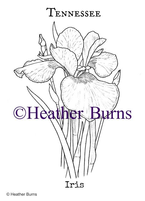 State Flower Coloring Book Tennessee Iris